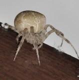 fixed garden spider